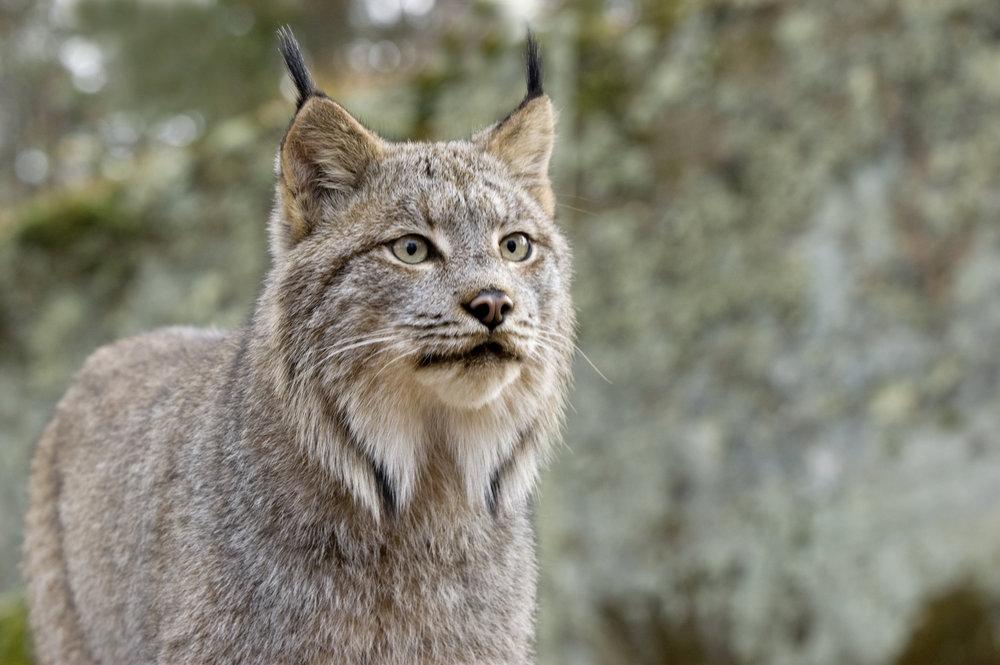 Lynx_01.jpg