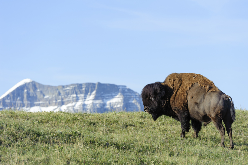 Buffalo near Waterton Lakes National Park with mountain in the back.