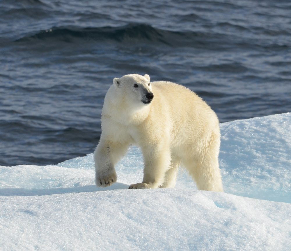 Polar Bear, Photo by Cristina Eisenberg