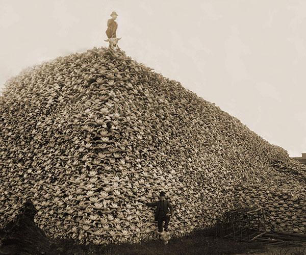 Bison Skulls, Circa 1880