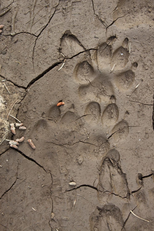 Wolf Tracks, Photo by David Moskowitz