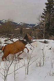 GPS-Collared Elk Photo by Roger Creasey