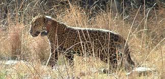 Jaguar (Panthera onca), Photo Courtesy AZFG