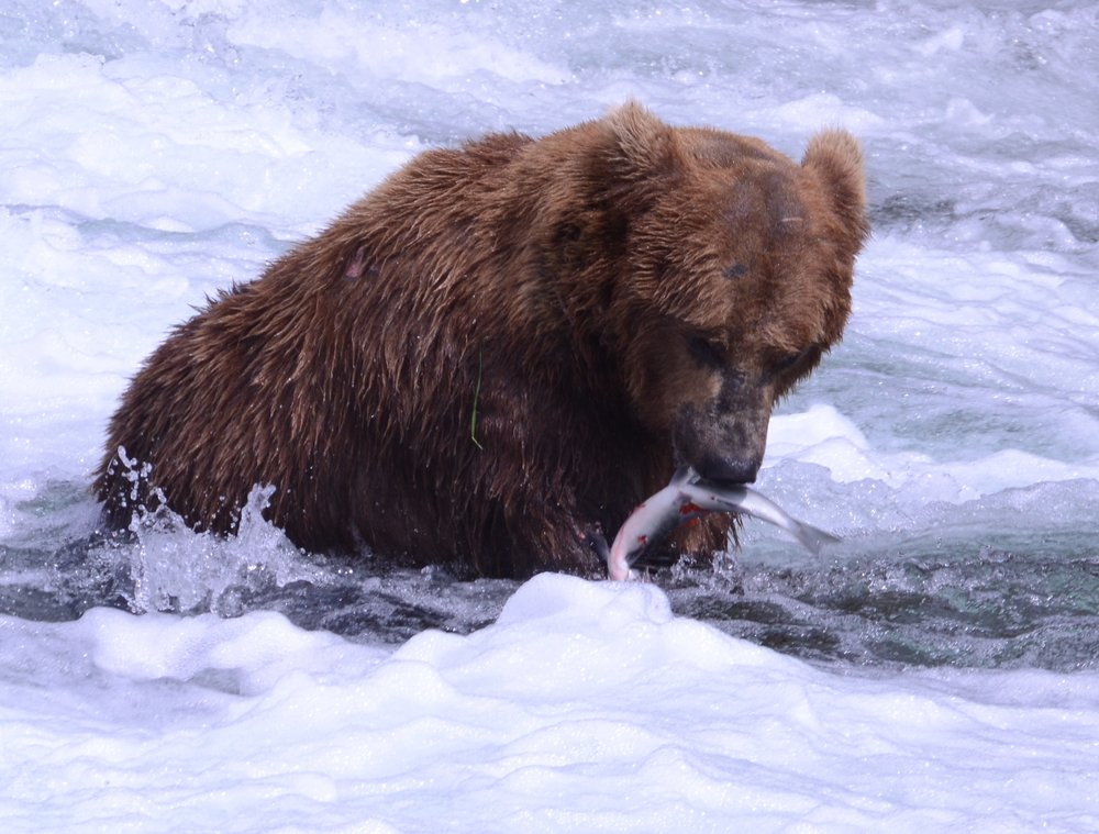 Grizzly Bear (Ursus arctos), Photo by Cristina Eisenberg