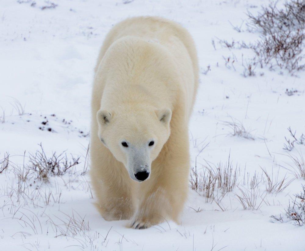 Polar Bear (U. maritimus), Photo by Cristina Eisenberg