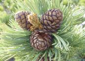 Whitebark Pine Photo Courtesy American Forests