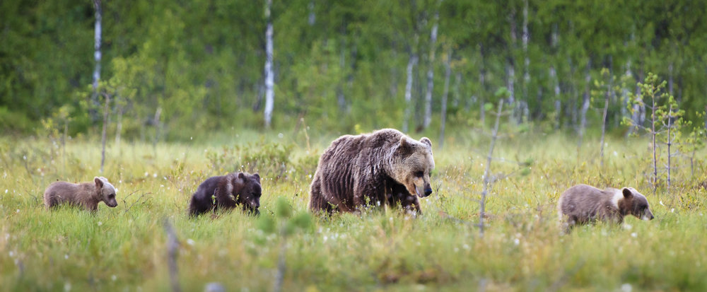 Grizzly Bear Mother and Cubs (stock image)