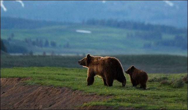 Grizzly Bear Mother and Cub on Northern Rocky Mountain Ranchlands