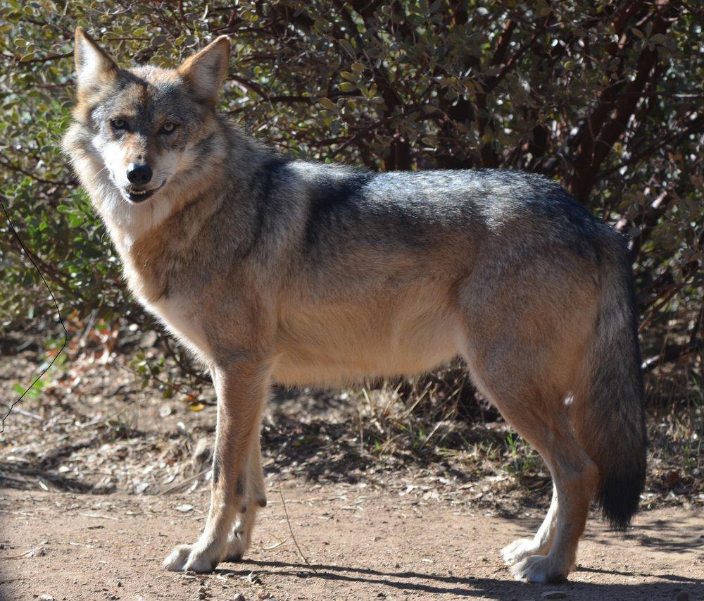 Mexican Gray Wolf, California Wolf Center. Photo by Cristina Eisenberg.
