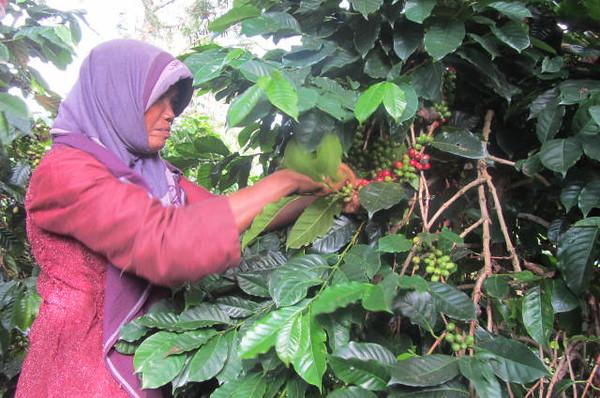 3. harvesting coffee-M.jpg