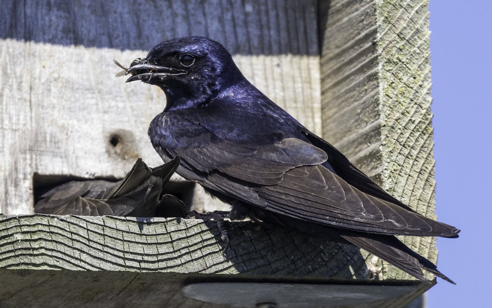 Male purple martin waiting for female to back out before feeding wasp to chicks (photo © Andrew Reding)