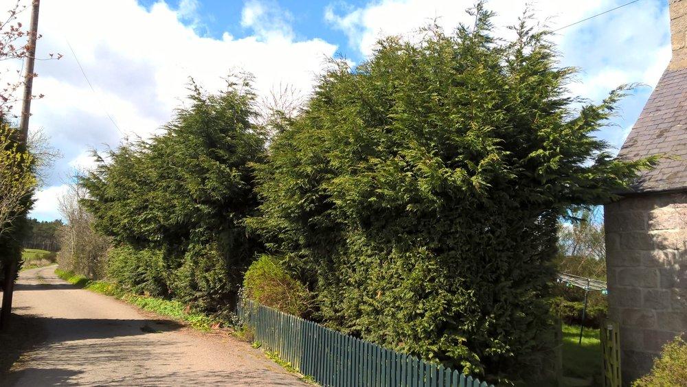 hald way through pruning conifer, Drumoak