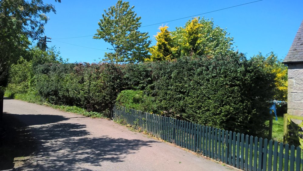 Conifer pruning, Drumoak