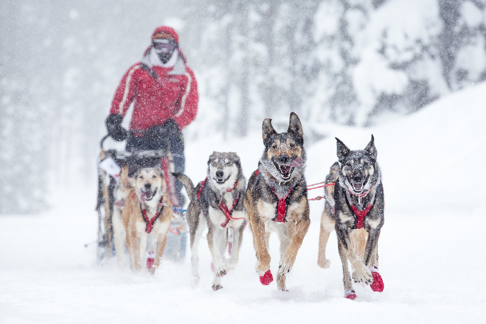 A smiling team of sled dogs races toward the camera during a dogsled race at Lost Trail Pass in Montana.