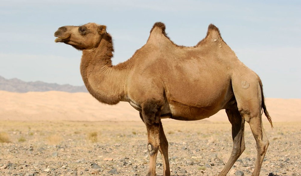 9c6f2034e7 International Camel Owners Association Expects Straw Ban Will Save Backs Of  Millions Of Animals