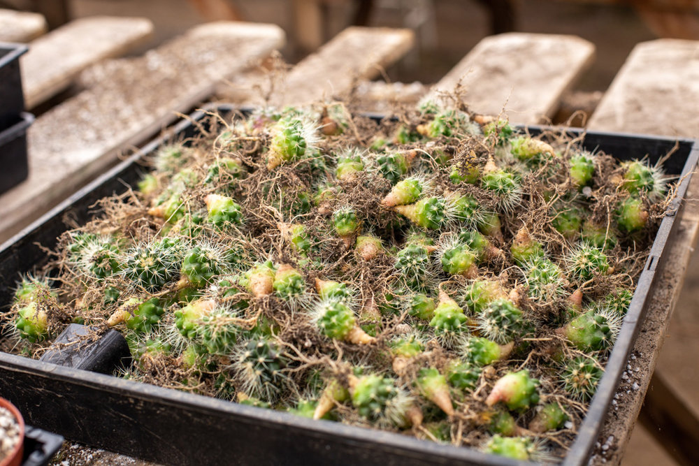 Cacti that was separated and ready to be put into individual little pots.