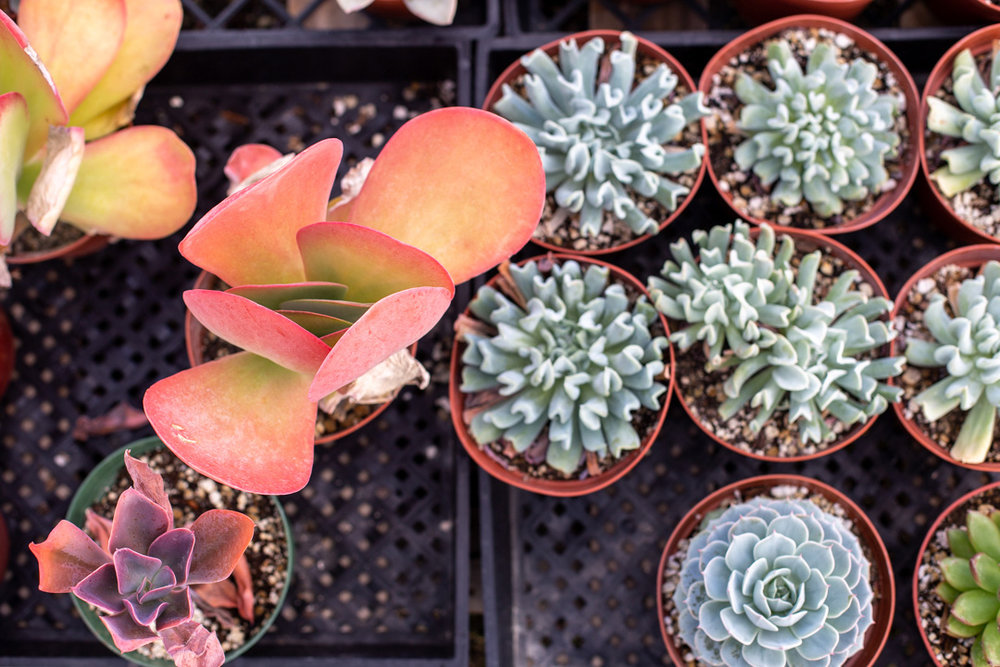 These cute succulents with paddle-shaped leaves are called flapjacks.