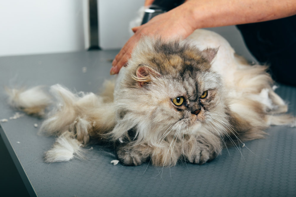 disgruntled cat, during haircuts in grooming salon, selective focus on cat face
