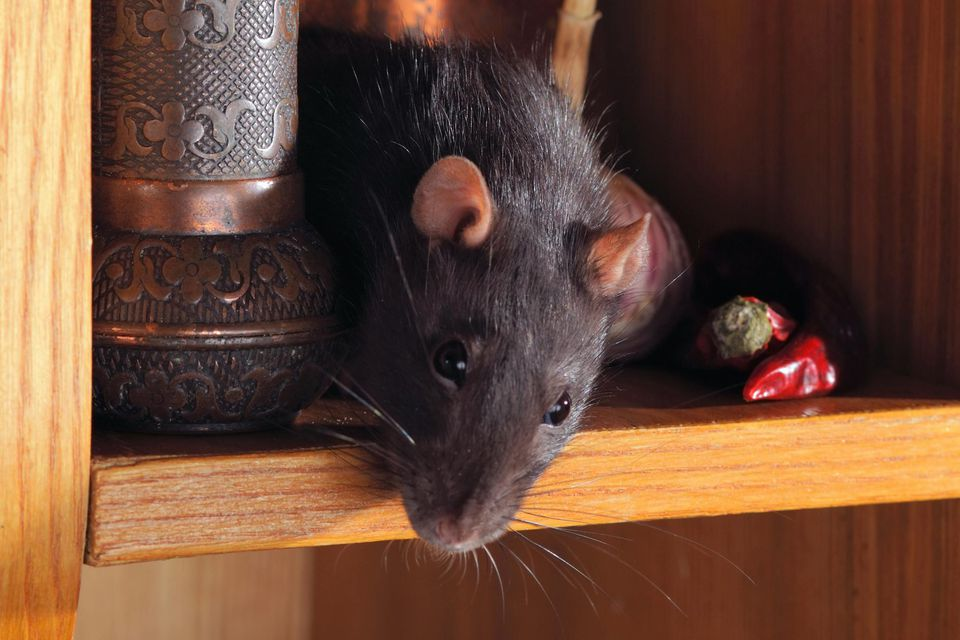rats in you house1.jpg