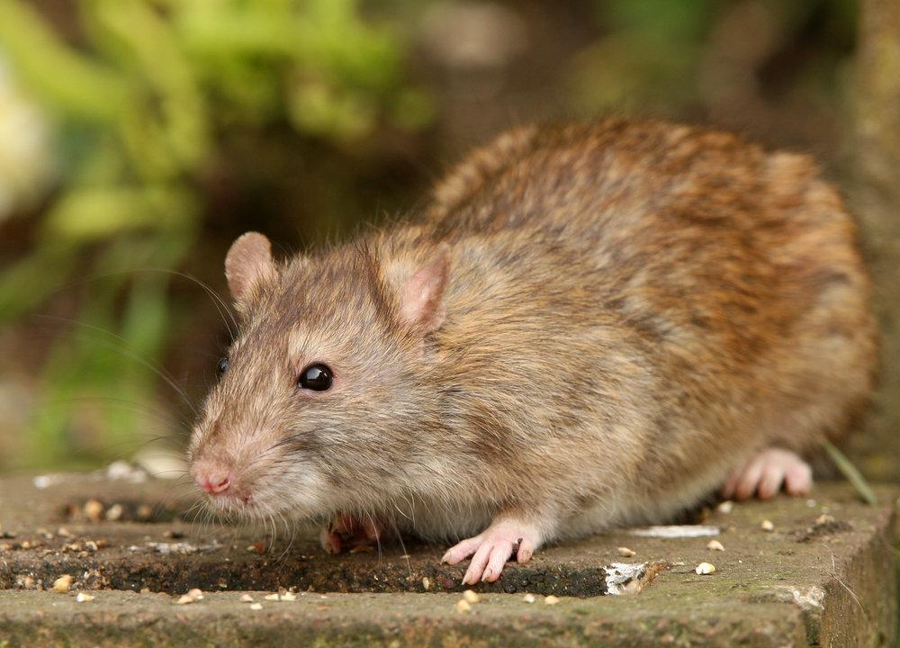 is it a rat ratsak