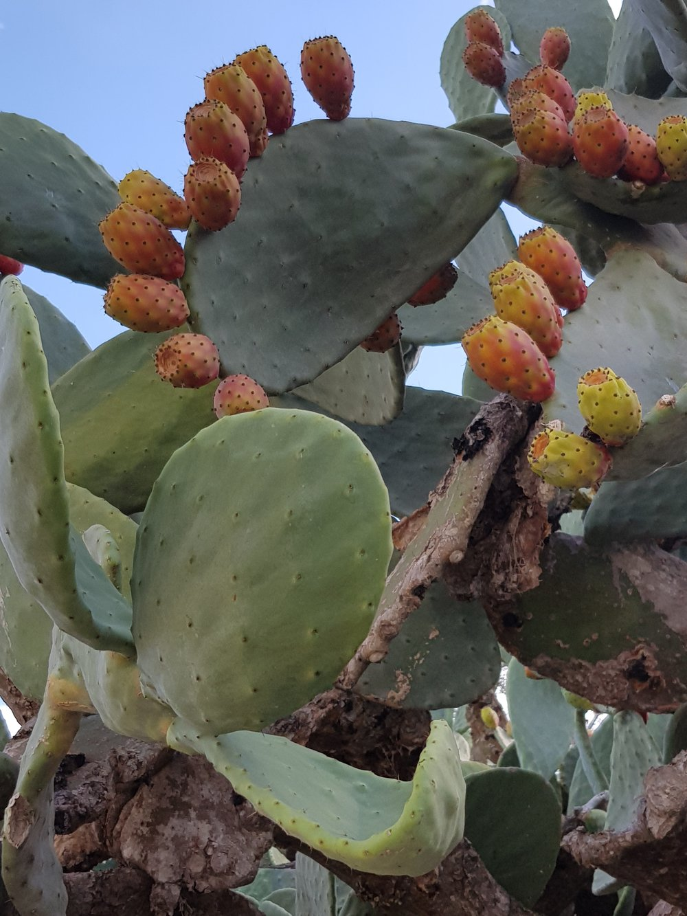 Late summer is the perfect time to indulge in the fruits of the island's prickly pears