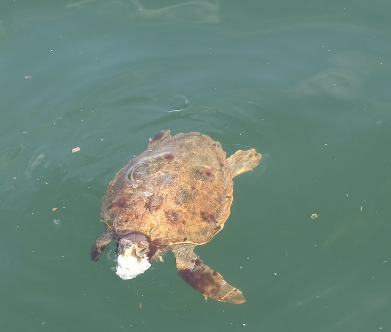 It was impossible to say how long the turtle had been trying to eat the plastic ( Picture © Paul Wheatley )