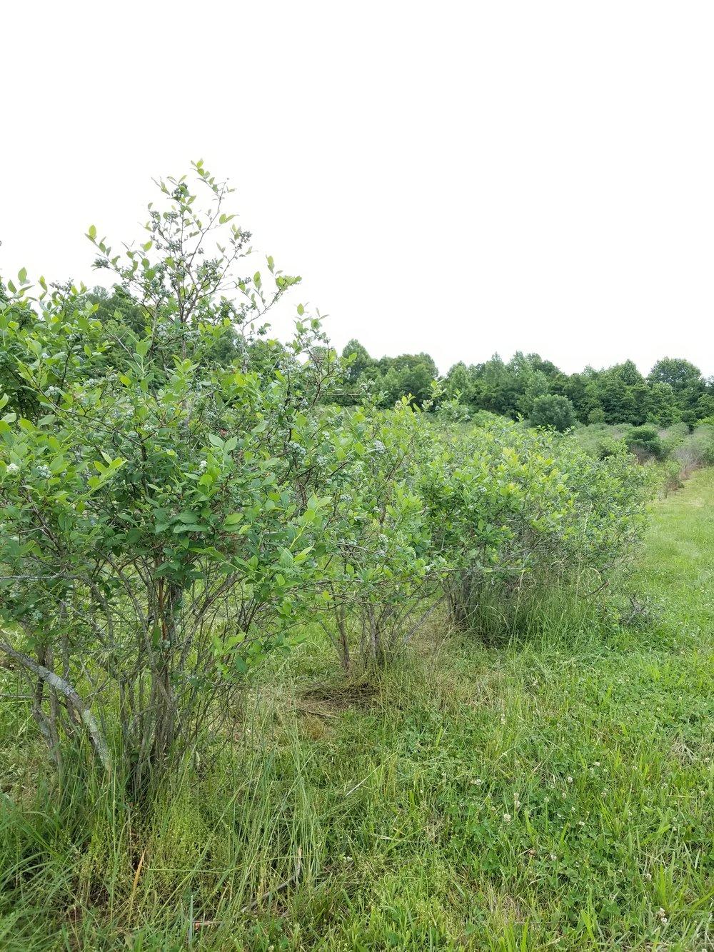 Blueberry bushes.jpg