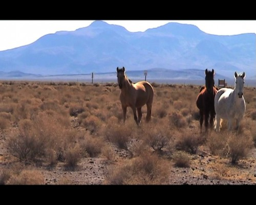 The Last Wild Horses of Death Valley - I was filming in Death Valley Junction, seeking an empty landscape, when I gained an audience. It turned out I was filming in the territory of the last herd of wild horses in Death Valley, and possibly the whole of California. We watched each other for upwards of 20 minutes, although I ran out of tape after about 10 minutes. This piece is best watched, accompanied by your favourite horse themed music. My preference is to fade in 'The Last Ride Back to KC' by Nick Cave and Warren Ellis from the soundtrack album of the film 'The Assassination of Jesse James', at around 02m 05s 03f. Copyright restrictions prevent me from using it on Youtube.Hardly a work of art, the piece is more of a contemplation of inter-species observation.