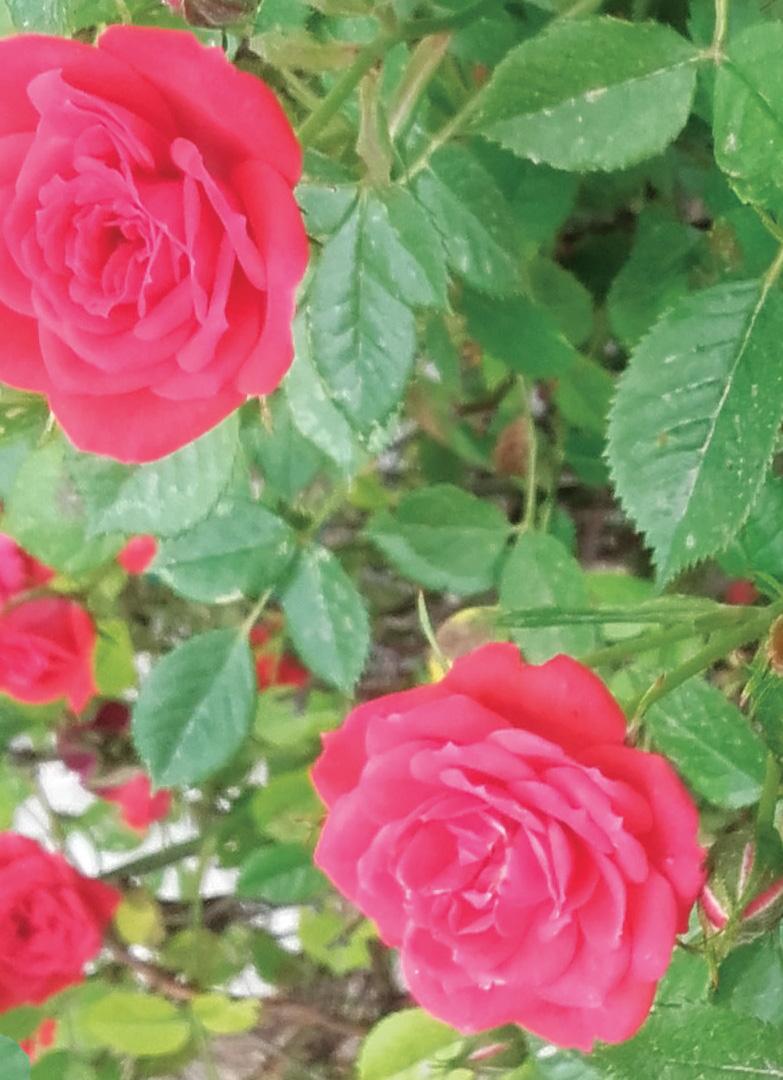 foto_rose.jpg