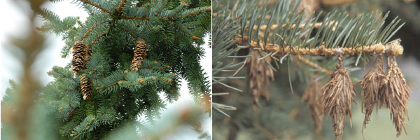 BAGWORM OR PINECONE?