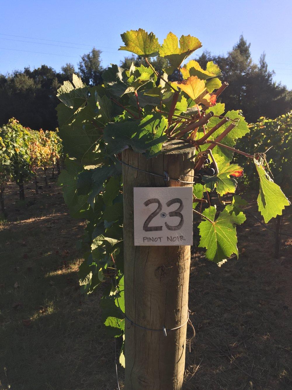 Row 23 - Pinot Noir Clone 777