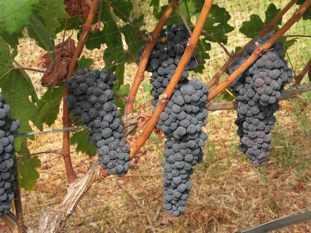 2017 Zinfandel on the vine day before harvest