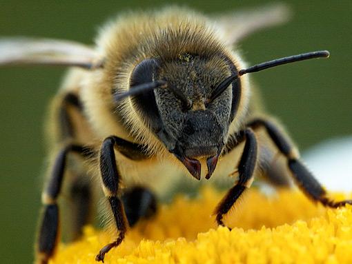 © Robin Calvin, Noisy Bee