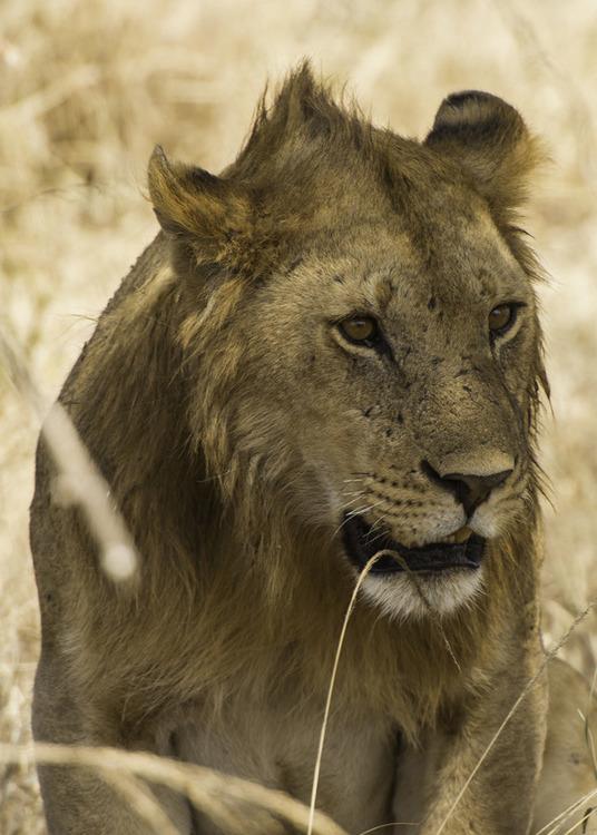 © Stefan Cardell, Tonåring i Serengeti