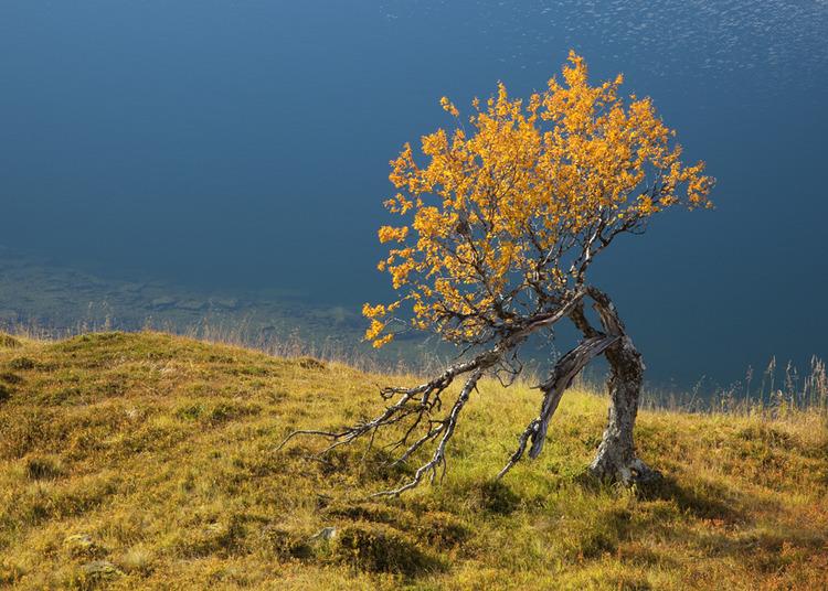 © Fredrik Neregård, Ensamt träd i Seilan i Nordnorge