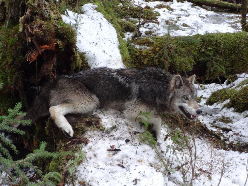 march 2017 wolf 3 005.jpg