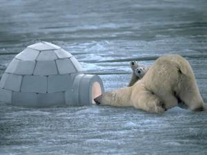 Polar Bears Curiosity