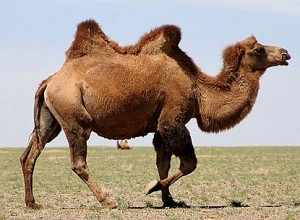 brown-bactrian-camel