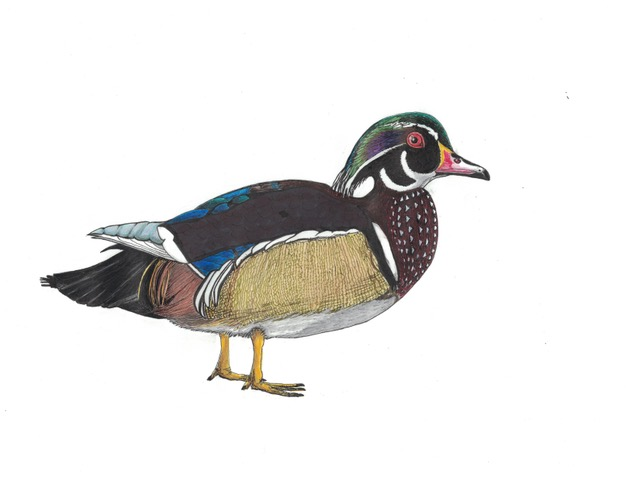 WOOD DUCK 2018 COLOR03052018.jpeg