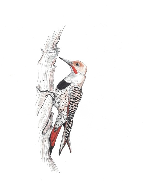 Northern Male Flicker.jpg