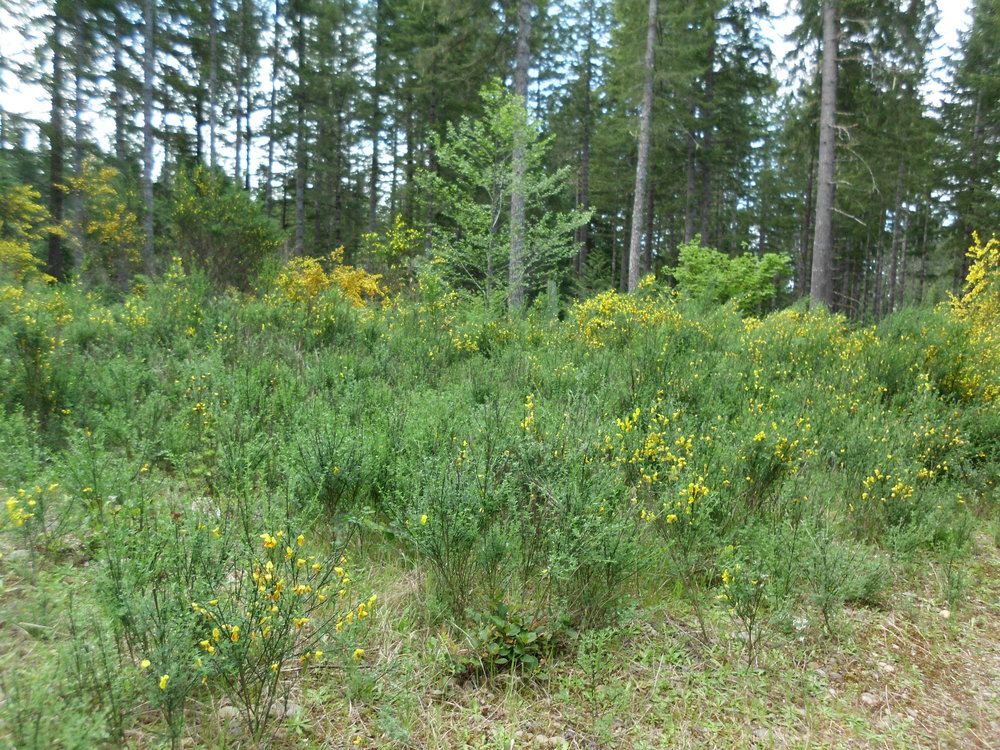 Scotch Broom in former landing