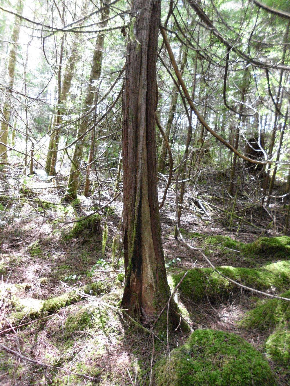 Bear damage on cedar tree