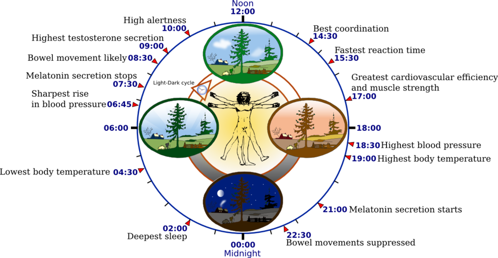 (Circadian Clock — Source Wikipedia   https://en.wikipedia.org/wiki/Circadian_rhythm    )