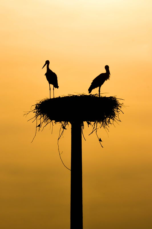 Nesting Storks, Mazeres France. Photo by Gregoire Bertaud.