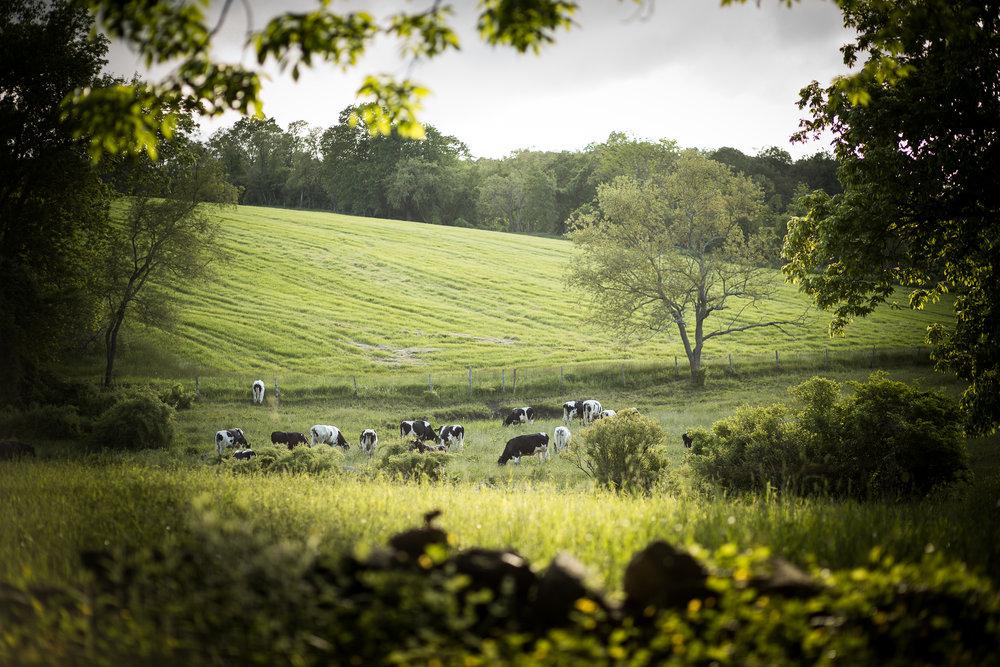 cowsinpastureedit-1.jpg