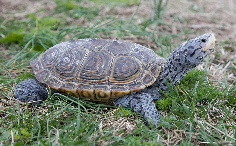 Diamond_terrapin_turtle.jpg