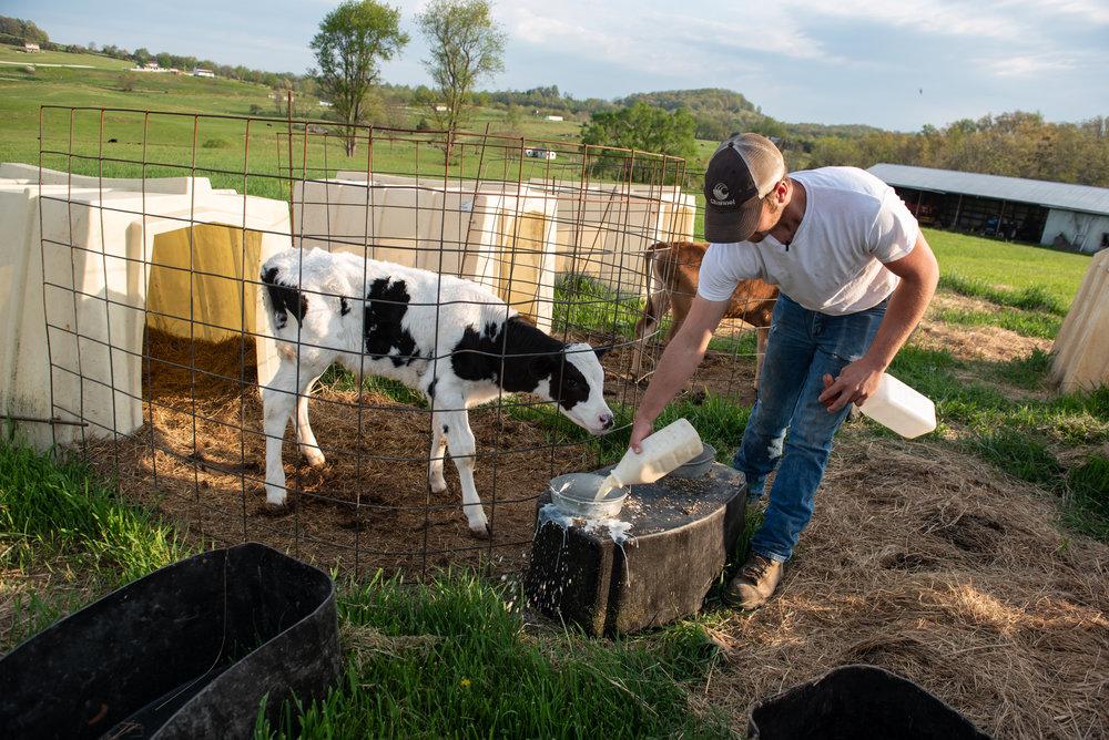 Luke feeds one of his new calves.