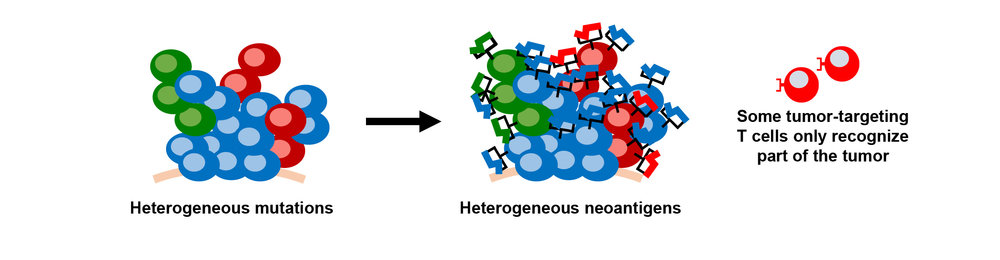Heterogeneous neoantigens fig 2-01.jpg