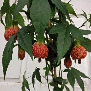 Abutilon Red Tiger Paddock Plants Buy Online Uk