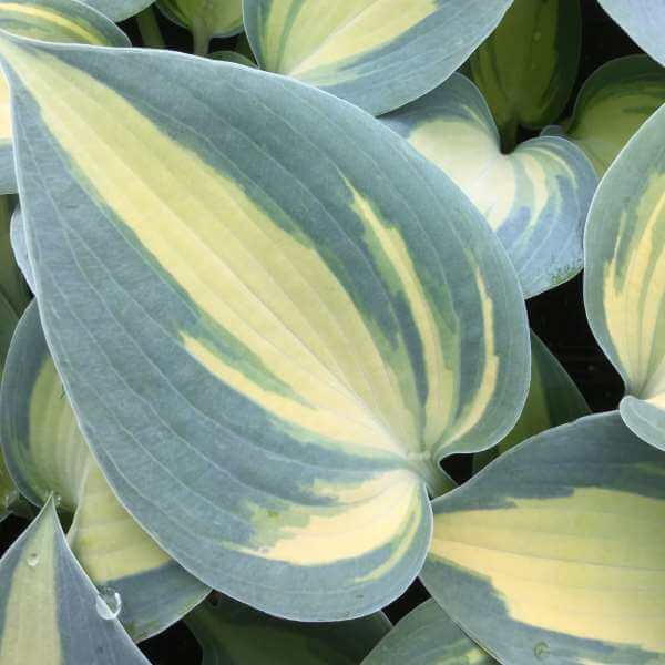 Hosta Dream Queen Paddock Plants Buy Online Uk